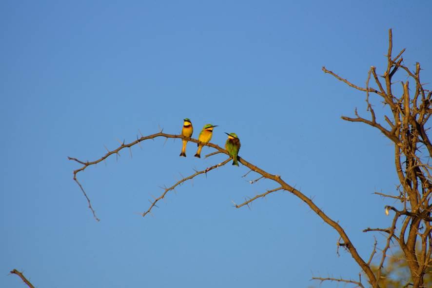 Bea Eaters, Botswana